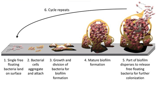 Zeng_life-cycle-of-biofilm-image-